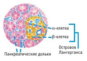 Клетки поджелудочной железы