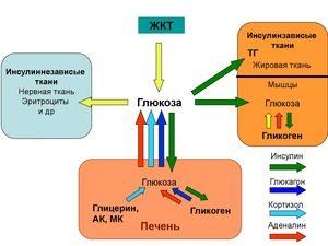Обмен глюкозы в организме