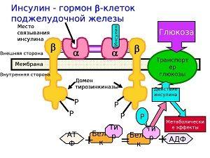 Метаболизм инсулина