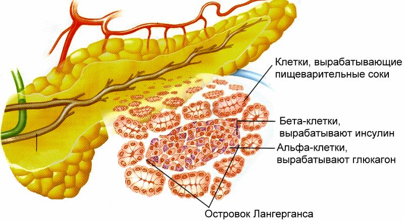 Функции клеток поджелудочной
