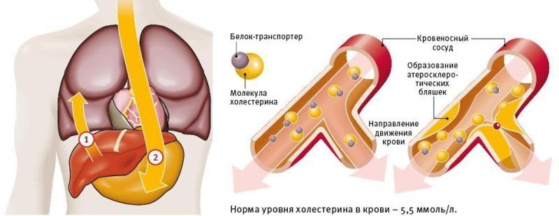 Движение холестерина