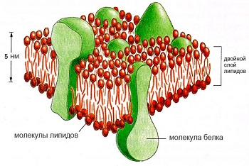 Липиды в мембране клетки