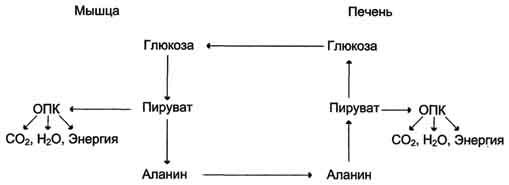 Цикл распада глюкозы