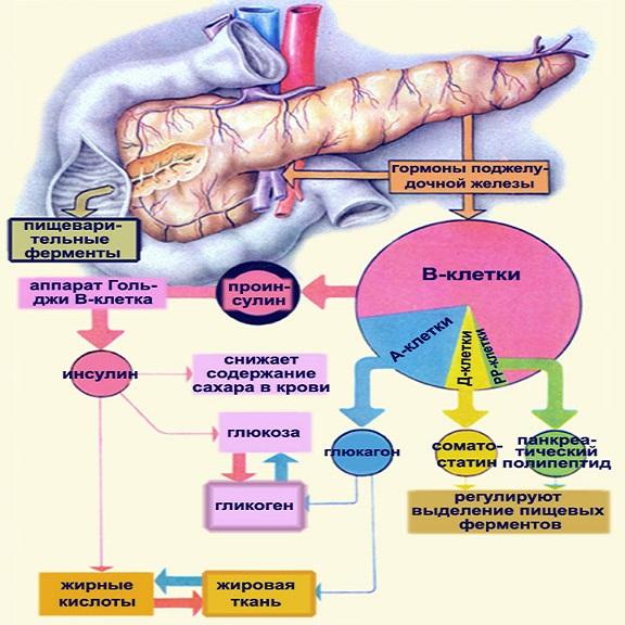 Роль поджелудочной железы