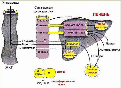 Гомеостаз глюкозы