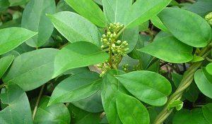 Лекарственное растение джимнема