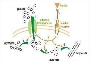 Действие инсулина в организме