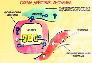 Схема действия инсулина в крови