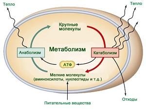 Анаболизм и катаболизм
