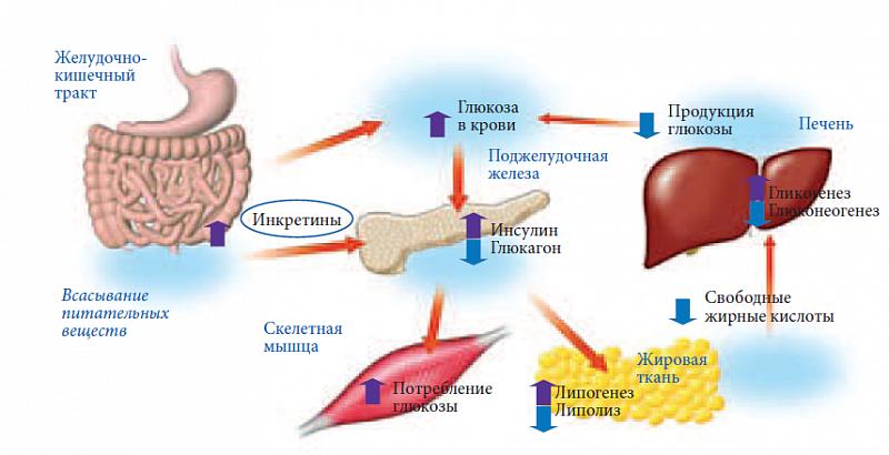 Регуляция обмена глюкозы