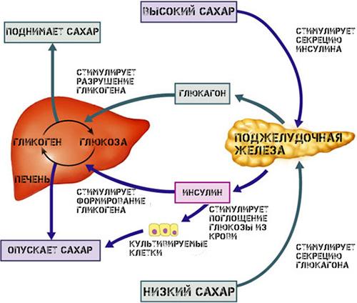 Взаимодействие глюкагона и инсулина