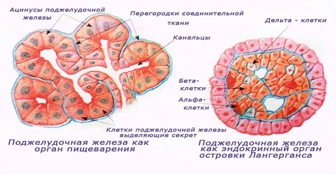 Гормональные клетки