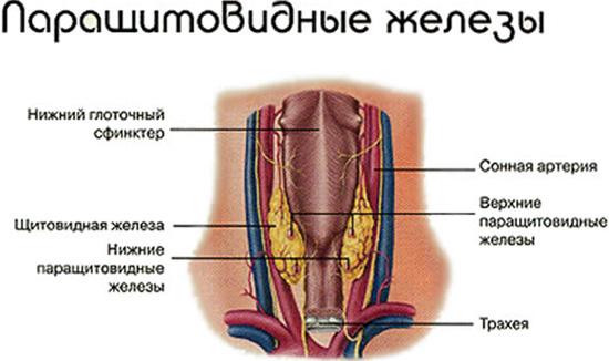 Паращитовидные железы