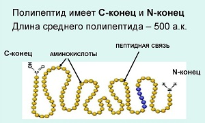 Полипептид