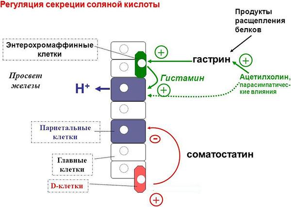 Регуляция секреции соляной кислоты