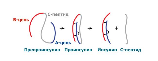 С-пептид