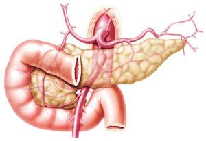 Артерии органа